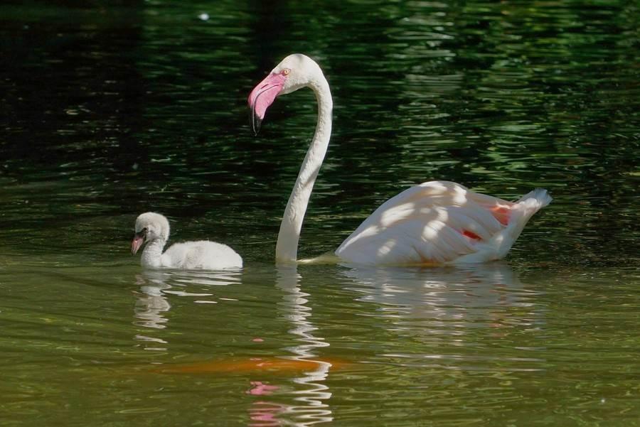 當大紅鶴寶寶成長到可以自行離巢、到處探索的階段,大紅鶴的父母便會開始教導孩子游泳的技巧(詹德川攝)。(台北市立動物園提供)