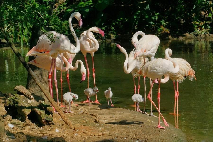 台北市立動物園水禽區的大紅鶴家族,今年已陸續順利孵化出9隻小寶寶,氣氛顯得熱鬧非凡(詹德川攝)。(台北市立動物園提供)