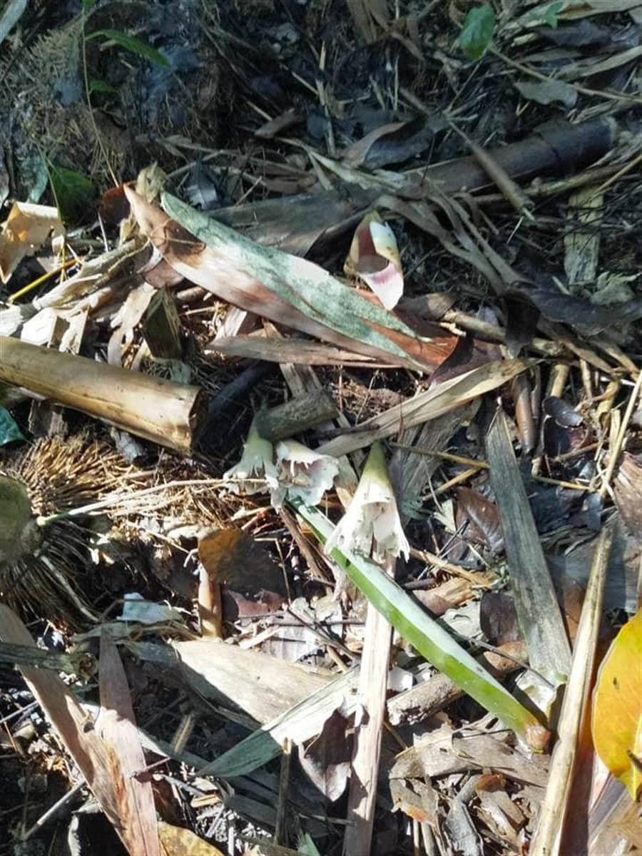 雲林縣斗六市湖山里高姓筍農甜龍筍被不明動物偷吃。(民眾提供/許素惠雲林傳真)
