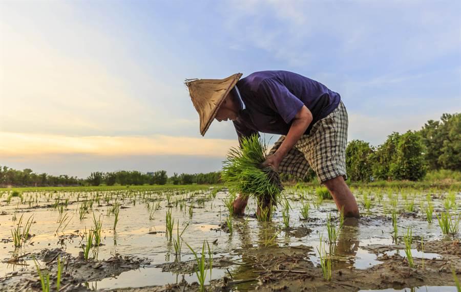 縣老年農民辛勤插秧耕作,縣府補助的農保費明年改為1次發放。(羅浚濱攝)
