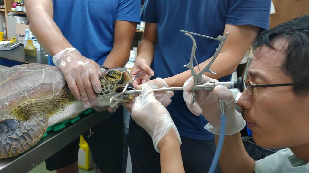 海生館獸醫師為綠蠵龜進行內視鏡手術。(海生館提供/林志成台北傳真)