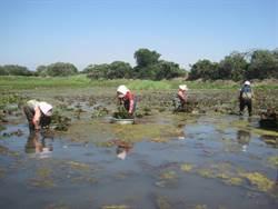 《雉在菱里》紀錄片 記錄水雉保育歷程與艱辛