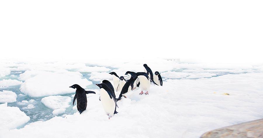 在南極嬉戲的阿德利企鵝。(新華社資料照片)