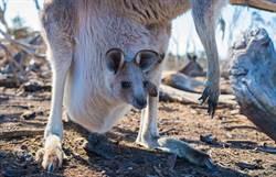 澳洲「國寶的寶貝」 網曝驚人真相