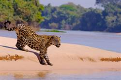 美洲豹跳河戰鱷魚 結局專家驚呆