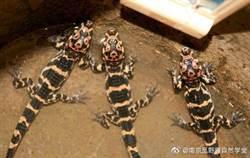 安徽野放揚子雛鱷 測試人工繁殖鱷魚重返自然可能性