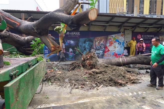 圖說:行道樹直徑30公分以上的枝幹被齊頭式的修砍,根系也是被怪手隨意扯斷,愛樹團體批評這是行刑式的手法。(高雄愛樹人提供/袁庭堯高雄傳真)