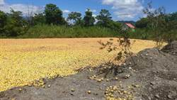 收購次級文旦加工遭扭曲 農糧署:無利用價值者當堆肥