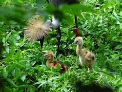 萌!灰頸冠鶴寶寶學走路 叢林大玩捉迷藏