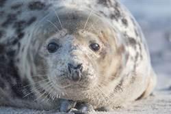 有「起床氣」的澳洲海豹  協助破獲20億毒品案