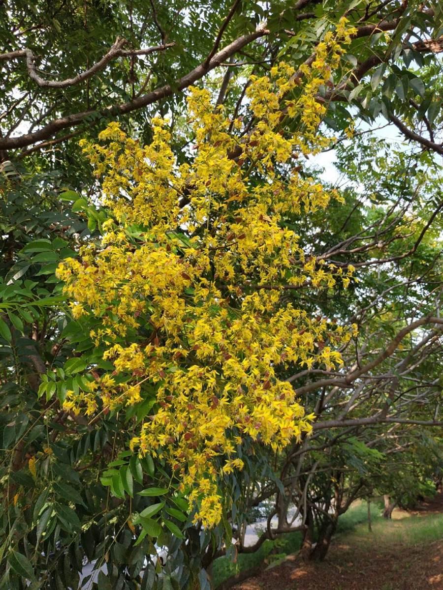 台灣欒樹開花期長出小黃花,黃花綠葉相當優美。(張朝欣攝)