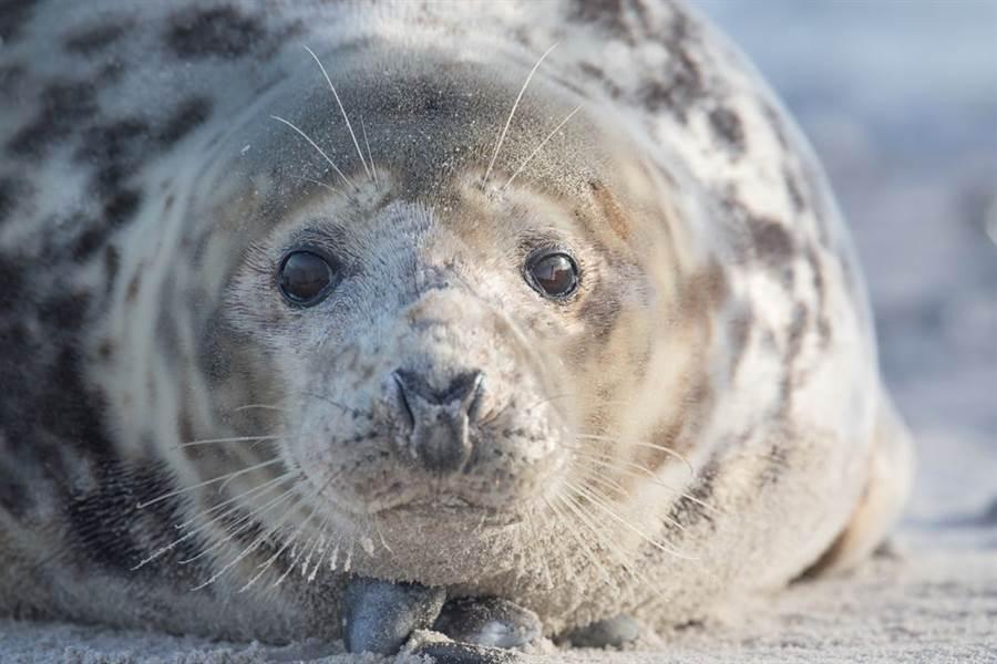 澳州警方破獲毒品走私案,竟是靠1隻有「起床氣」的海豹幫忙。圖非當事海豹。(圖/Shutterstock)