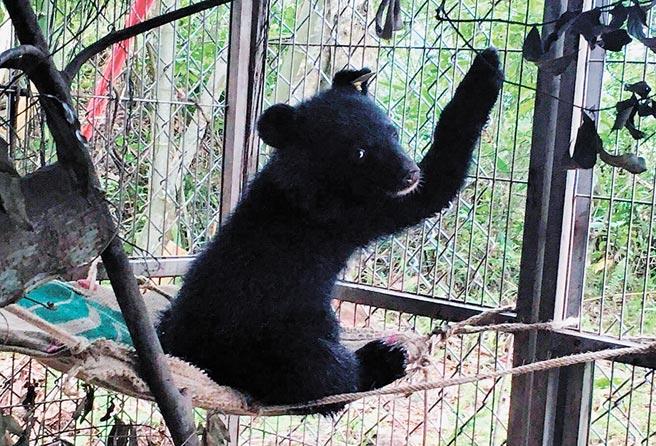 7月27日在台東縣海端鄉廣原村被救下的台灣黑熊幼熊。(台東林管處提供/莊哲權台東傳真)