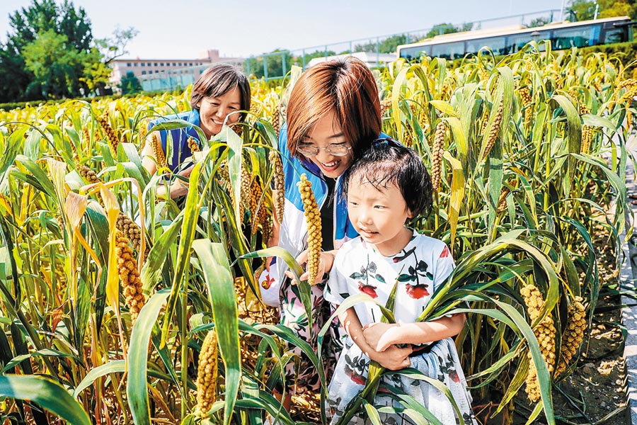 在先農壇,小朋友與家長共同收割體驗收穫樂趣。 (武亦彬攝)
