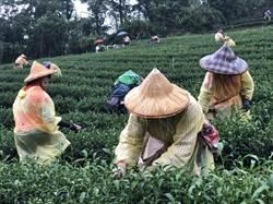 全國好茶在新北 各路好手齊聚坪林拚技藝