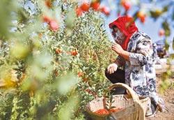 西北降甘霖助農業 生態恢復顯著