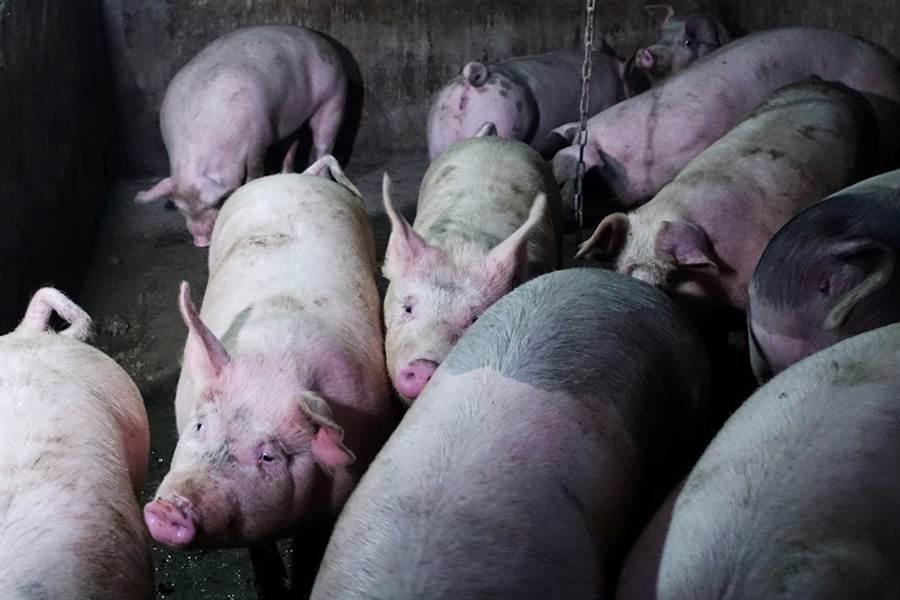南韓今(17)日證實爆發首例非洲豬瘟,首爾當局已封鎖全國養豬場48小時。(圖/路透社)