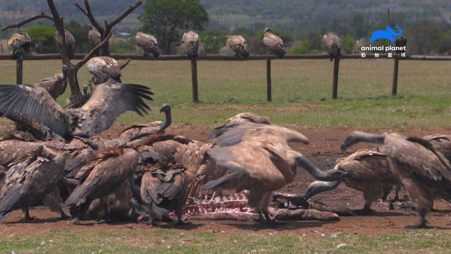 禿鷲的胃酸甚至比車電池酸液還酸,腐蝕性很強,不但能溶解骨頭、溶解金屬,也能完全消滅要命的疾病。(動物星球頻道 提供)