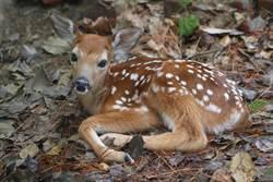 重傷鹿被人救 野放時死守原地不走