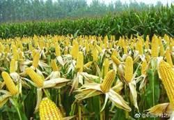 秋行軍蟲確定陸南方繁殖 今年玉米秋收沒影響