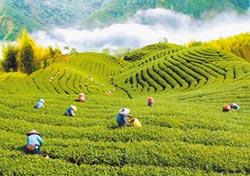 陸愛台灣茶 台商:南向銷量難比