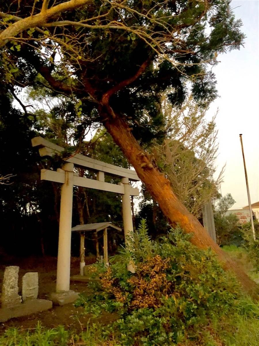 千葉縣的名產山武杉在法西風災過後四處倒,連神社的鳥居都遭殃。(黃菁菁攝)