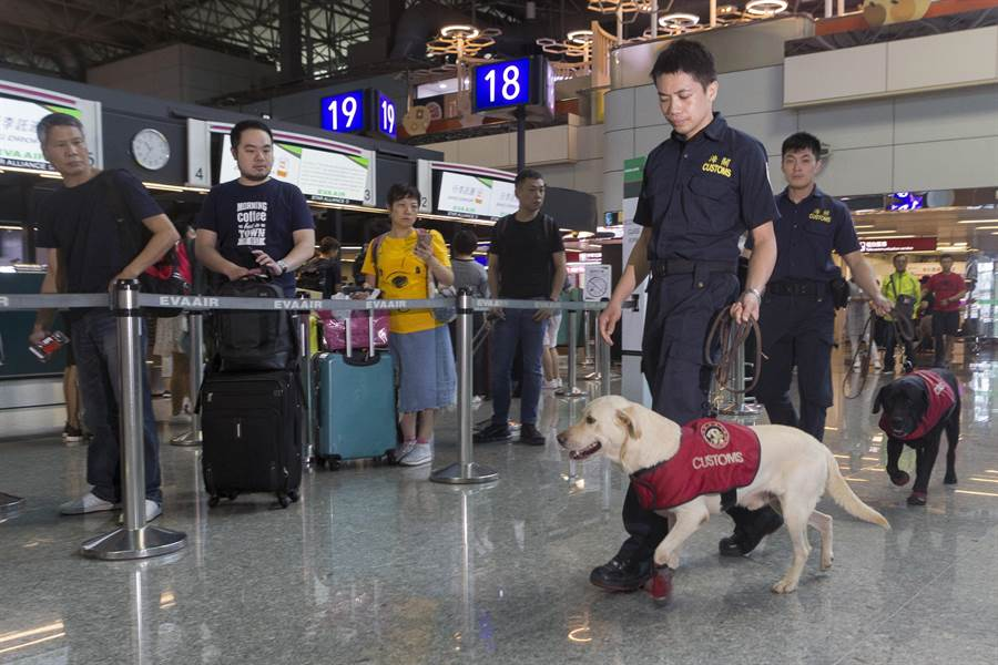 值勤的緝毒犬18日起將會穿梭在行李行列中,希望有效遏止國境販毒走私,也獲得旅客高度肯定。(陳麒全攝)
