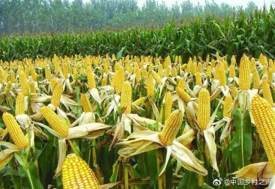大陸官方宣布已避過秋行軍蟲害,玉米收成不受影響,產量已達預期目標。(取自新浪微博@中國鄉材之聲)