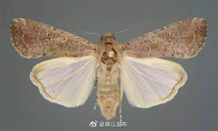 秋行軍蟲已在大陸定居,成為每年南北遷飛的外來害蟲。(取自新浪微博@屏山發布)