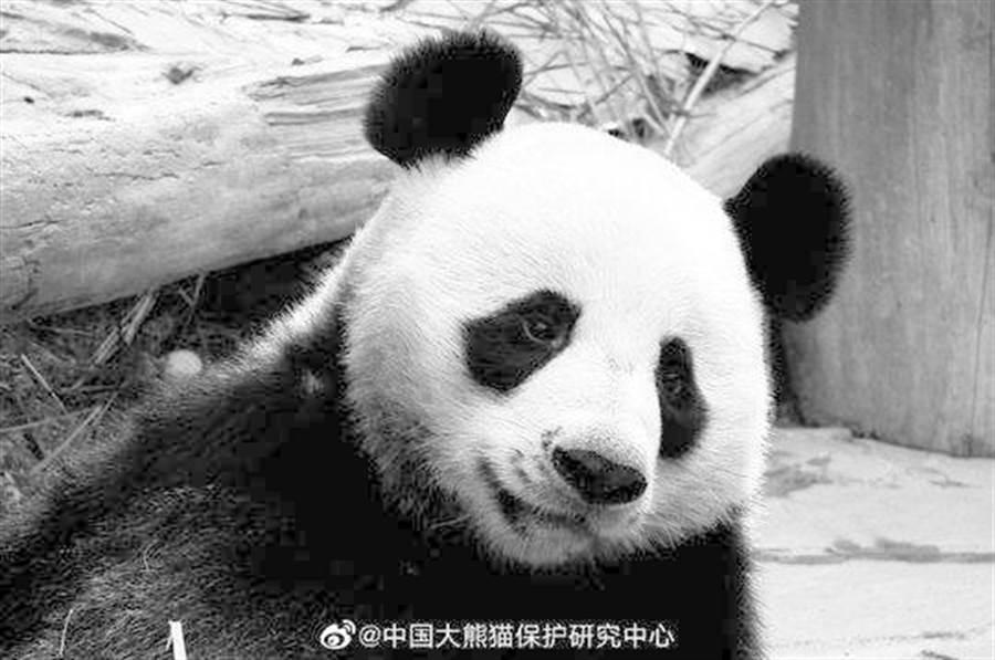 大熊貓「創創」。(取自中新網,中國大熊貓保護研究中心提供)