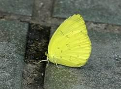 蝴蝶展翅高飛好美麗!揭秘為何「雄蝶」喜愛汗臭味?