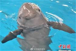 陸人工繁殖第二代長江江豚 出生百日見客啦!