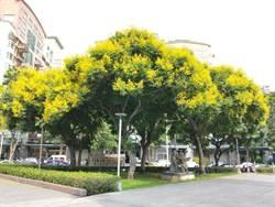 「金黃盛開」欒樹季來臨 秘密花境大公開