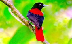 紅黑相間的花蓮精靈 縣鳥「朱鸝」
