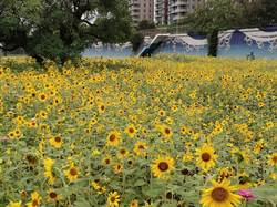 北市美堤河濱公園4000坪大花海熱情綻放中