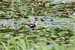 台南水雉生態季登場 展現水雉保育成果