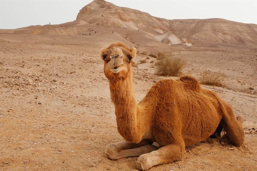 美國一名女子為了追趕跑進駱駝圍欄內的毛小孩,遭駱駝一屁股坐在她身上,女子為了逃生,情急下咬了駱駝的蛋蛋,奇蹟掙脫。圖為示意圖,非當事駱駝。(圖/shutterstock)
