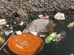 港區驚見死海龜 岸巡協助存證處置