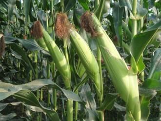 種苗場開賣農試所育成新品種玉米 產量提高20%
