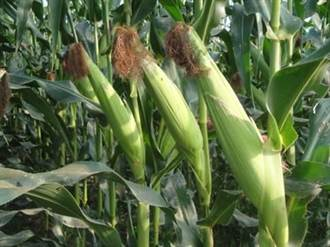 硬質玉米新品種台農七號 生長勢強產量高