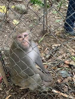 獼猴族群變大 林內鄉發現私設大型誘捕籠