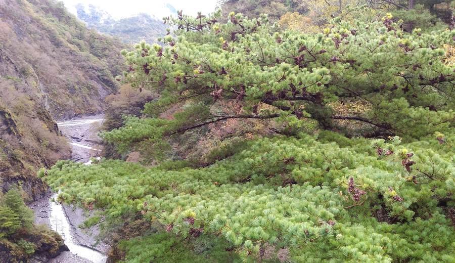 ▲奧萬大遊樂區吊橋旁壯觀的五葉松美景。(林管處提供/楊樹煌南投傳真)