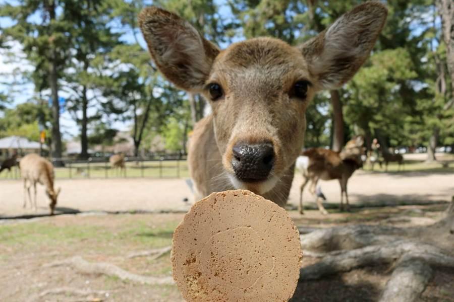 日本將於10月1日把現行8%消費稅調高至10%,奈良鹿餅將由150日圓漲為200日圓,為28年來首次加價。(圖/Shutterstock)