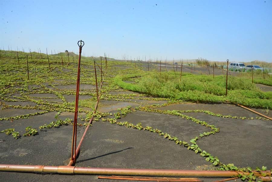 濁水溪出海口砂地透過綠覆蓋等方式進行揚塵治理。(張朝欣攝)