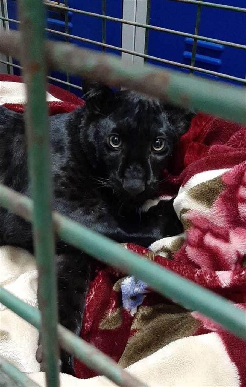 這隻黑豹年紀大約五、六個月大,體型約一隻小型拉布拉多犬。(摘自英國獨立報)