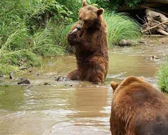 2隻灰熊激戰 她冒死拍攝刺激影片