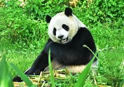 貓熊「圓仔」個性像媽咪!口味謹慎精明是「老饕」