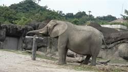 幫遊客撿帽子的大象有新招!勤練梅花拳要當女打仔?