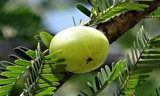 本土超級水果吃過沒? 餘甘子抗氧化、護肝又防癌