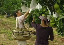 DIY香蕉飯、秋天採柚趣!新北農家DO一日